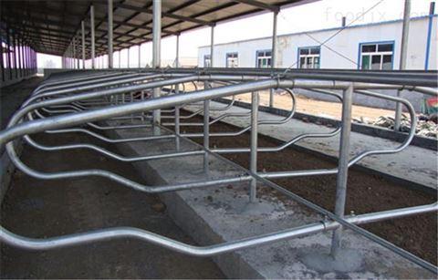 牧场应注意牛卧床的设计和管理事宜