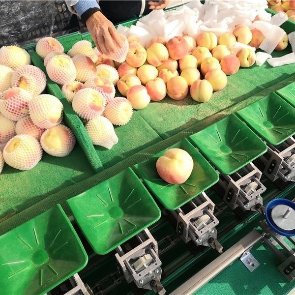 无损安农水蜜桃选果机 不伤果 肥城有卖的么
