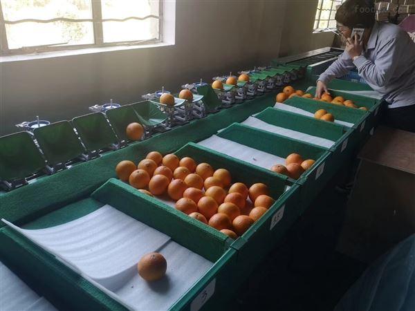 云南褚橙分选机 水果选果机分果机