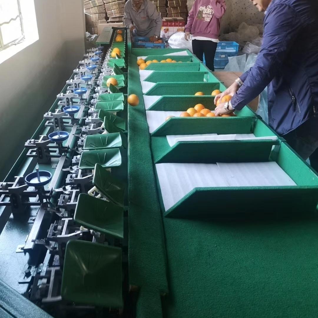 秋月梨分果机 水果分级机 重量分选设备